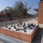 plantation d'un olivier sur la terrasse d'une entreprise
