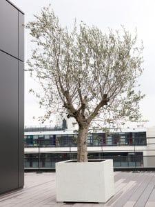 plante pour décoration bureau arbre olivier sur terrasse exterieure
